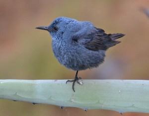 Meiro-azul | Monticola solitarius