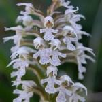 Orchis tridentada