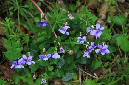 More violets with the 'stickyback' cleaver - apparently ok in salads and and for juicing