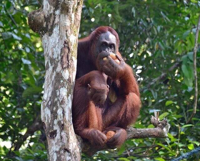 Female Orangutan alone after sharing the food with her baby