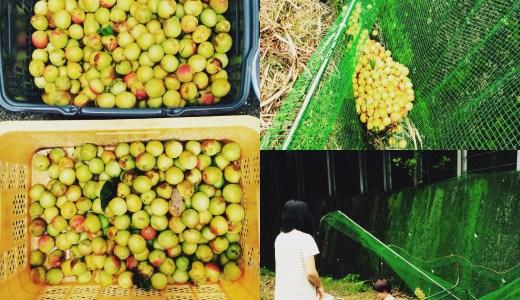 和歌山に住むと梅には困らないというのは本当でした