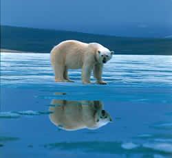 mamá osa polar, sóla...