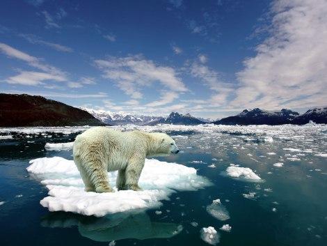 melting-ice-polar-bear-on-206311
