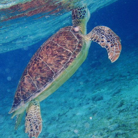 Turtles in the Cayman Islands