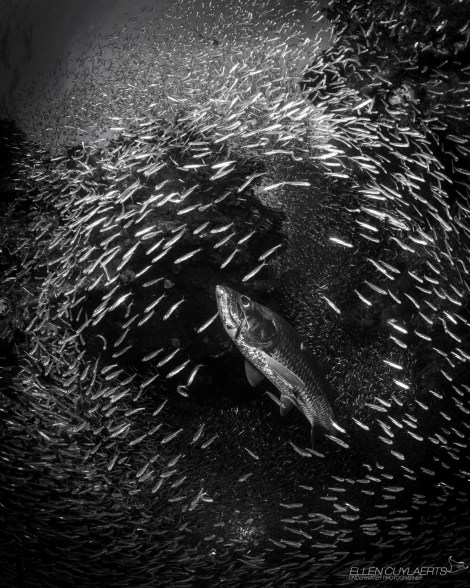 grand-cayman-harbour-sotos-reef-tarpon-silversides-in-caves_