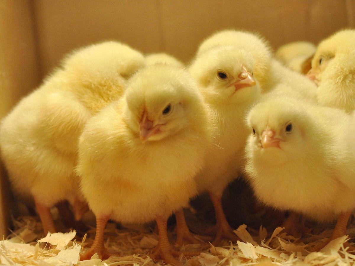 ecochicks chicken
