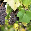 I Will Only Drink Organic Wine:  Wine's Dirty Little Secret is Roundup