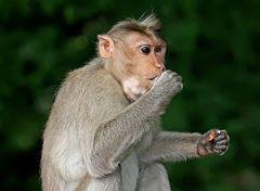 A Crab-eating Macaque (Macaca fascicularis) Mo...