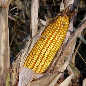 Could GMO corn be contributing to male infertility?