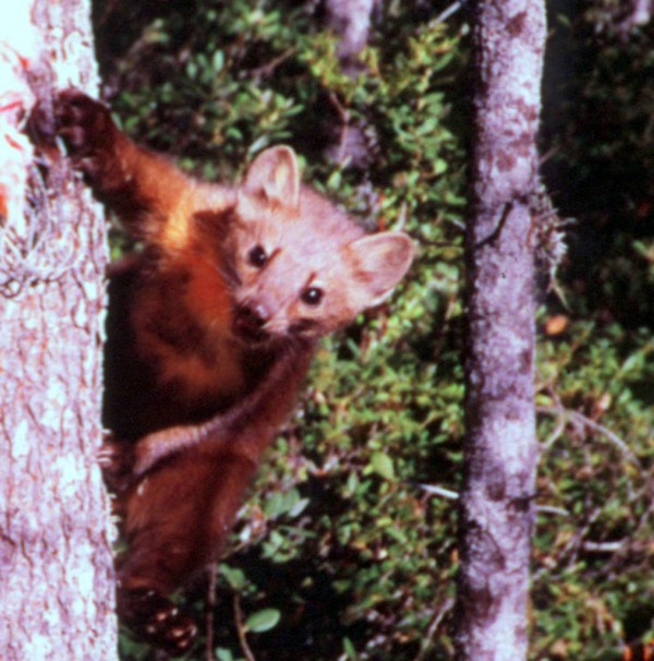 SAVING THE Humboldt marten A stealthy, cat-sized forest carnivore in the weasel family, the Humboldt marten is so rare that it was thought extinct until rediscovered in 1996. Now, due to extensive logging of coastal old-growth forests in Northern California and Oregon — the only places it's found — the marten has been eliminated from 95 percent of its historic range. Other threats to the marten abound, including wildfires and loss of genetic diversity due to population separation and a tiny overall population size. Fewer than 100 of these beautiful mammals are known to survive.  To make sure the Humboldt marten never slips out of human awareness again, in September 2010 the Center filed a scientific petition to protect the species under the federal Endangered Species Act. Although the U.S. Forest Service subsequently said protection may be warranted, the agency missed the deadline to make its next listing decision, so the Center filed a notice of intent to sue in April 2012. Saving the marten means protecting its habitat and reestablishing population connectivity. Martens are secretive hunters that only move through dense shrub cover or areas with closed forest canopy, so extensive clearcutting has dramatically fragmented their range, isolating populations in Oregon and California. NATURAL HISTORY HUMBOLDT MARTEN } Martes americana humboldtensis FAMILY: Mustelidae DESCRIPTION: Martens have medium-length glossy fur that ranges from tan to chocolate in color, with a lighter-colored throat patch and underfur and darkly furred legs and tail. The Humboldt marten in coastal northwestern California are on the smaller end of the American marten size range, with an average weight of 889 grams for males and 598 grams for females. These martens are slender, 1.5 to 2 feet long, and have large triangular ears and a long tail. HABITAT: Humboldt martens are very strongly associated with closed-canopy, old-growth forests with complex structure on or near the ground. Martens are known to avoid younger forests and open areas such as clearcuts, as well as fragmented areas. They will not cross large areas with low canopy closure. Martens also require old-growth elements for denning sites. Kits are weaned at 42 days, emerging from their dens at 50 days to begin foraging independently. RANGE: In California, the Humboldt marten historically occurred in coastal forests from Sonoma County, California north to the border of Curry County, Oregon. The marten also once occurred throughout coastal Oregon forests. Today, the subspecies has been extirpated from 95 percent of its California range and exists only in west-central and extreme southwestern Oregon. MIGRATION: This species is nonmigratory. BREEDING: Martens mate from late June to early August, with most mating occurring in July; they give birth in March and April. LIFE CYCLE: Martens can live up to 14.5 years in the wild. FEEDING HABITS: Humboldt martens primarily eat small mammals such as squirrels and voles, but they also eat huckleberries, salal berries, birds, eggs, reptiles, fish, carrion and insects. Diet is both regionally and seasonally variable. THREATS: The primary threat to the Humboldt marten is logging of old-growth and coniferous forests, which eliminates, degrades and fragments its remaining habitat. The animal is also at risk from small population size and low genetic variability, wildfire, predation, climate change and legal trapping in Oregon. POPULATION TREND: This subspecies has undergone drastic decline. In California, it appears to have declined by more than 40 percent from 2000 to 2008. In Oregon, the marten has been lost through