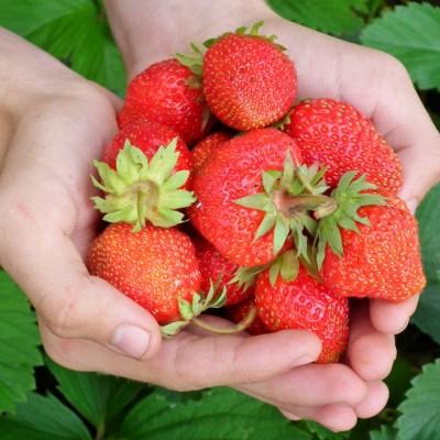 Strawberries: Super-Hero Or Super-Villain?