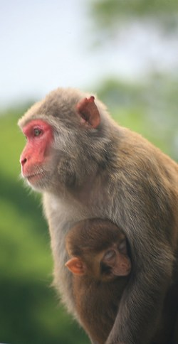 Monkey mama's milk signals behavior and development