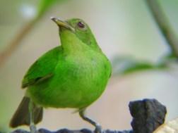 green Honey Creeper