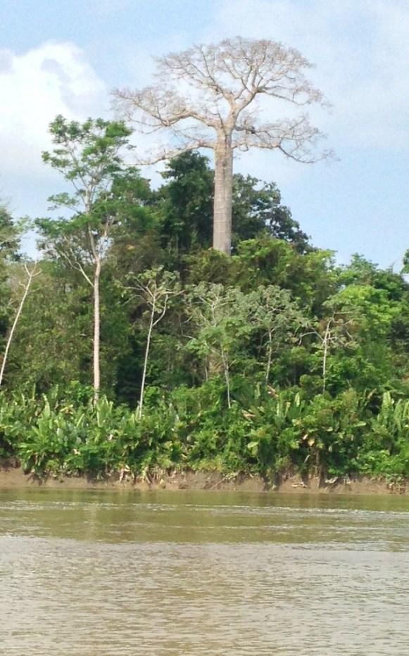cuipo tree in darien panama