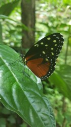 tithorea-butterfly