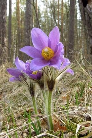 Природнича школа запрошує на знайомство із весняними первоцвітами