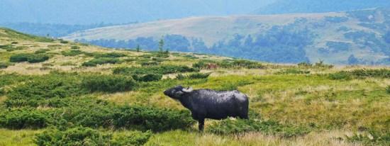 В дельті Дунаю розводитимуть водяних буйволів