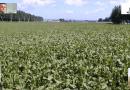 """Agroalimentare, 'Consuma italiano': """"Bene interrogazione di Nevi e Spena a sostegno del settore saccarifero italiano"""""""