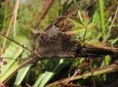 Marsh-fritillary-survey