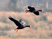 Greenland-white-fronted-goose2