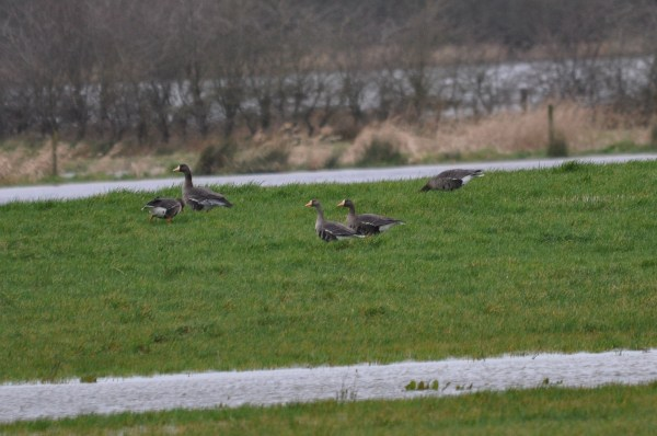 Greenland white-fronted geese, Little River Brosna Callows