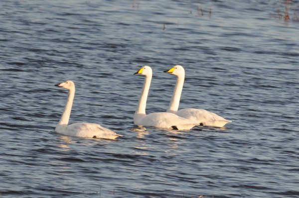 Whooper Swans, Co Offaly
