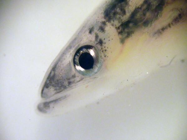 glass-eels-ireland