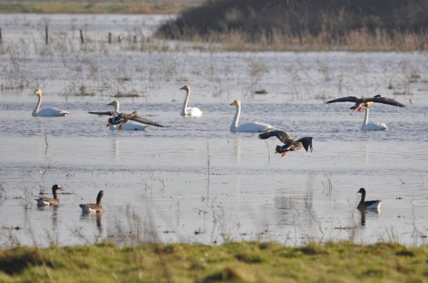 Greeland white-fronted geese and Whooper swans in the River Suck Callows SPA