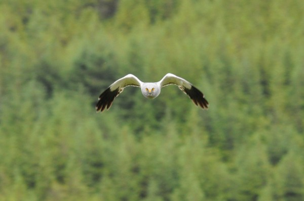 Male hen harrier, Co Kerry.