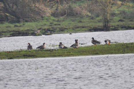 Greenland white-fronted geese10
