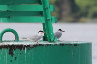 A Common-Terns-L-Derg