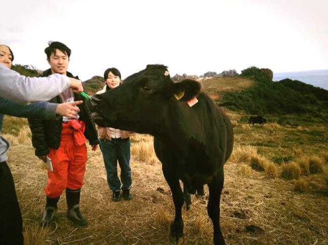 村おこしボランティア【宝島コース】で出会った放牧牛