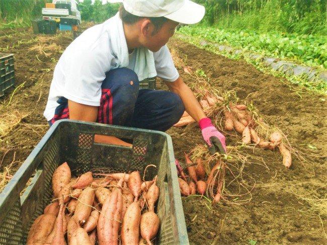 安納芋の収穫(夏)
