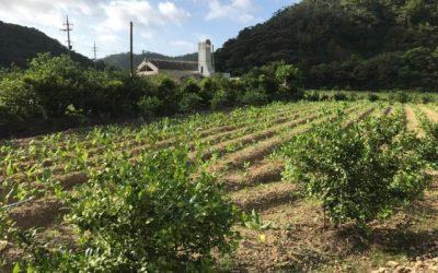 ウコンの農作業