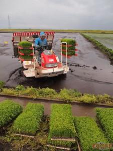 田植機で苗を植えていく