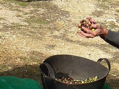 El suave tacto de las olivas