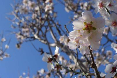 ...el almendro en flor bajo el cielo añil
