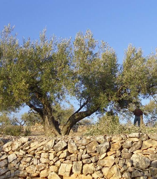 """La poda del olivo: """"Renovarse o Morir"""""""
