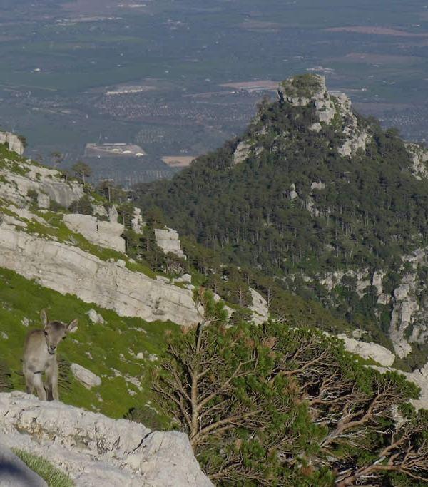 cabra hispánica y mola Castellona