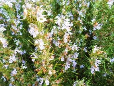 flores del romero