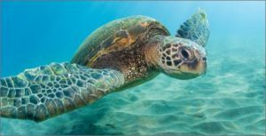 sea_turtle-300x153