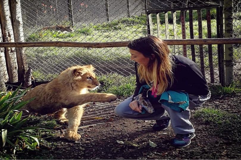 Cachorro de león dando la pata a la veterinaria