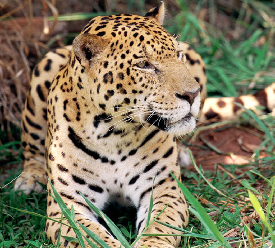 Jaguar Habitat Images Jaguar Wiring Diagram