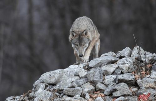 7 novembre/ Convivere con i lupi