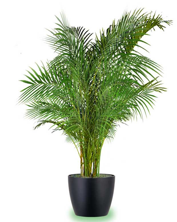 Areca Palm. El mejor humificador natural