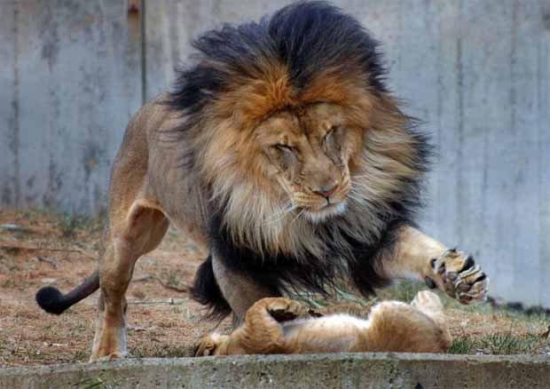leon cachorro2