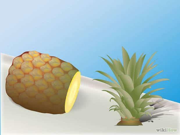 Pasos para plantar una piña natural