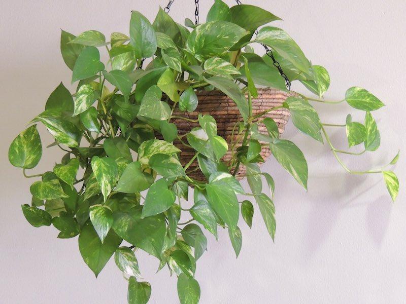 10 plantas que purifican el aire de tu casa - Plantas de interior tipos ...