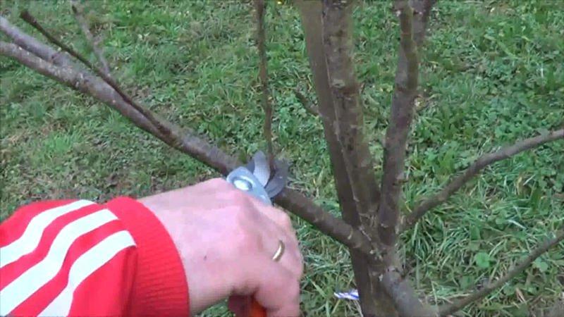Como podar un árbol frutal corte