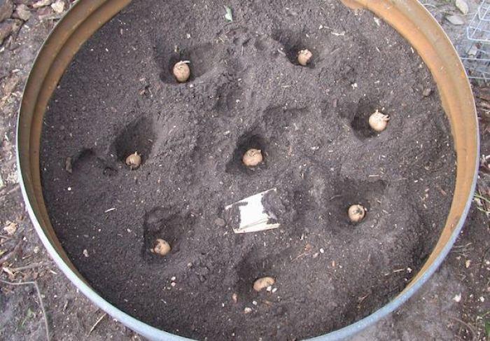 4 pasos sencillos para cultivar 45 kg de patatas en un barril 2